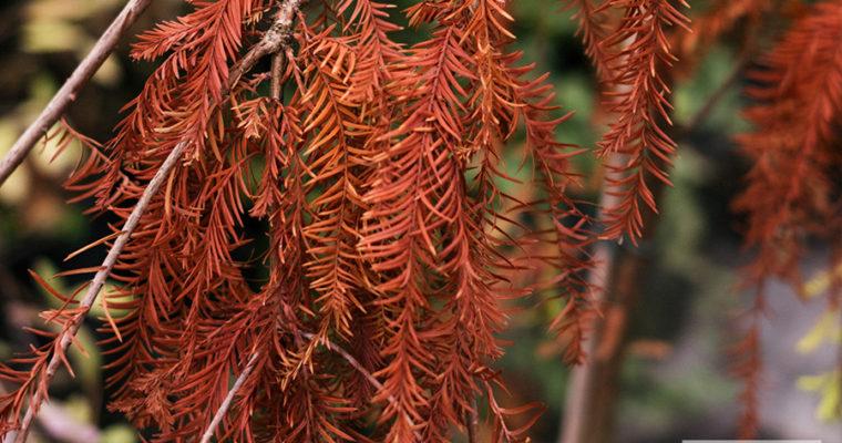 Cypryśnik błotny 'Cascade Falls' (Taxodium distichum)