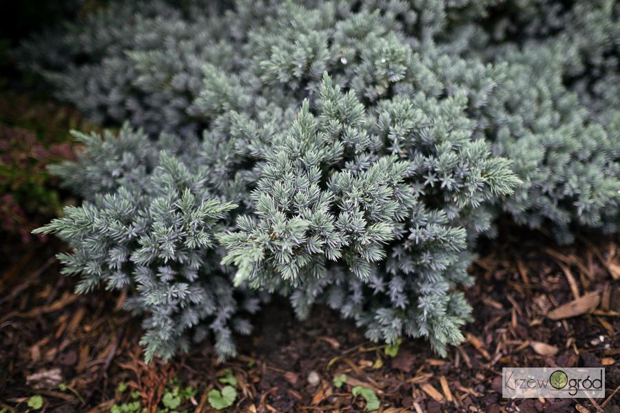 Jałowiec łuskowaty 'Blue Star' (Juniperus squamata)