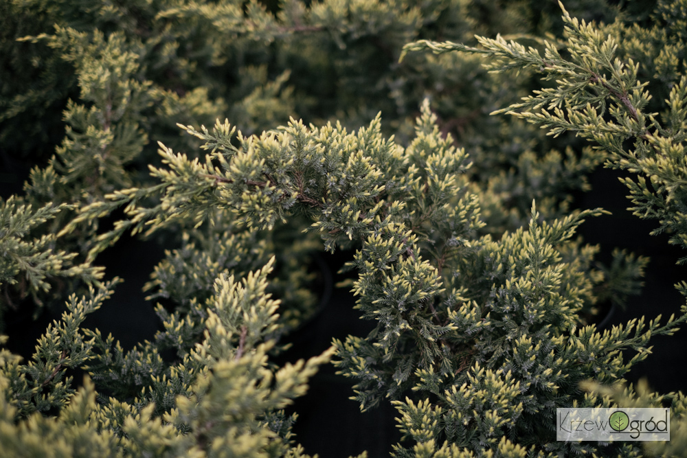Jałowiec łuskowaty 'Dream Joy' (Juniperus squamata)