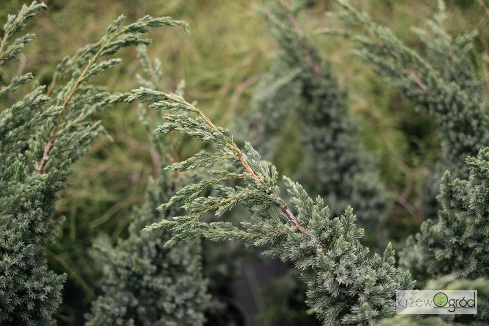 Jałowiec łuskowaty 'Meyeri' (Juniperus squamata)