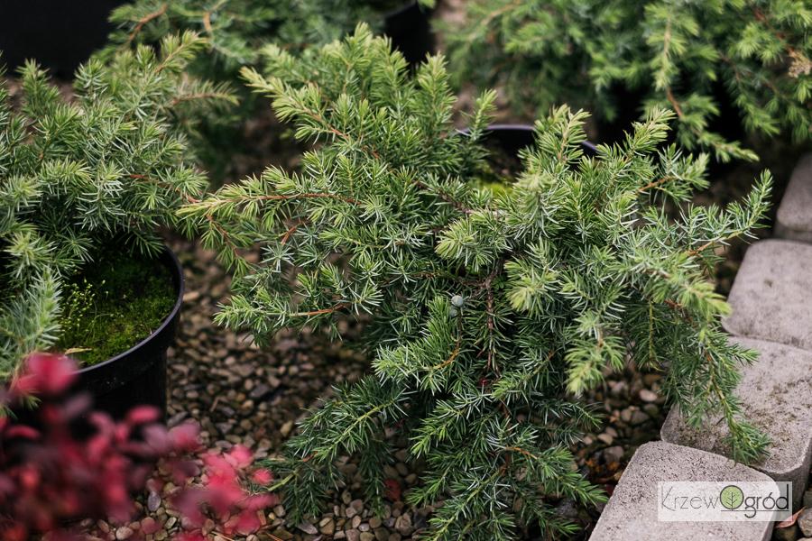 Jałowiec nadbrzeżny 'Schlager' (Juniperus conferta)