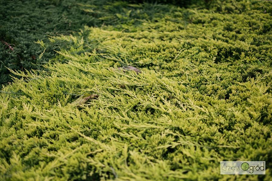Jałowiec płożący 'Golden Carpet' (Juniperus horizontalis)