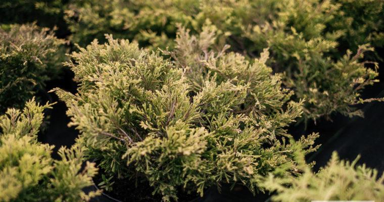 Jałowiec płożący 'Limeglow' (Juniperus horizontalis)