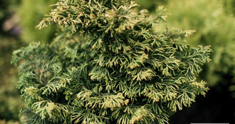 Cyprysik tępołuskowy 'Brian' (Chamaecyparis obtusa)