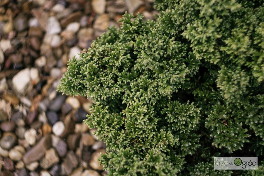 Cyprysik groszkowy 'Compressa Aurea' (Chamaecyparis pisifera)