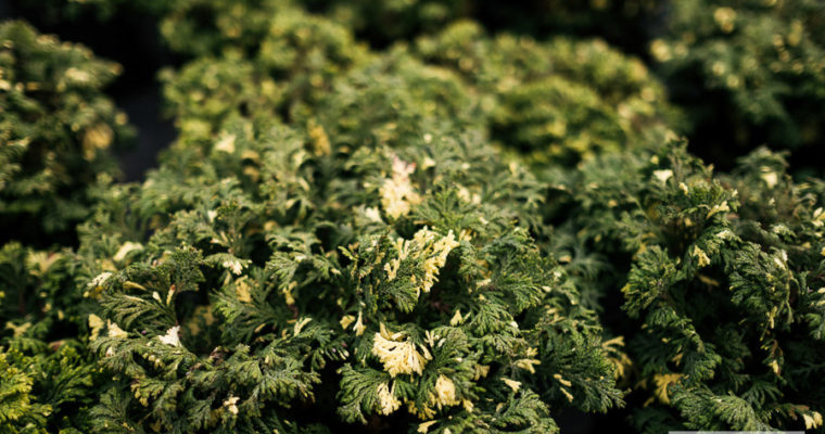 Cyprysik groszkowy 'Gold Dust' (Chamaecyparis pisifera)