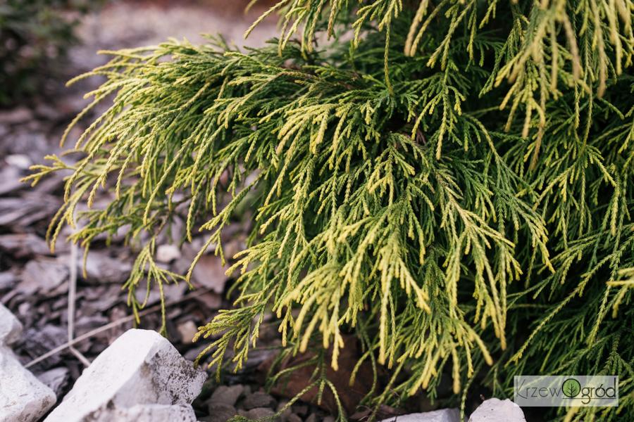 Cyprysik groszkowy 'Golden Mop' (Chamaecyparis pisifera)