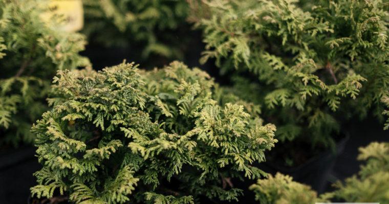 Cyprysik groszkowy 'Nana' (Chamaecyparis pisifera)