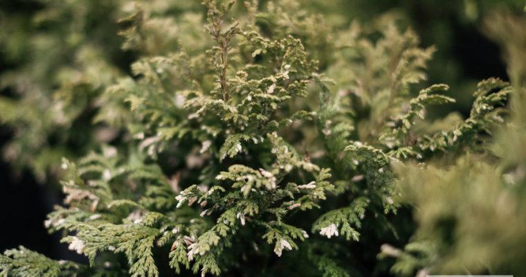 Cyprysik groszkowy 'Silver Lode' (Chamaecyparis pisifera)