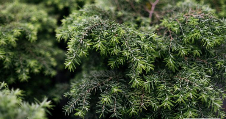 Choina kanadyjska 'Jeddeloh' (Tsuga canadensis)