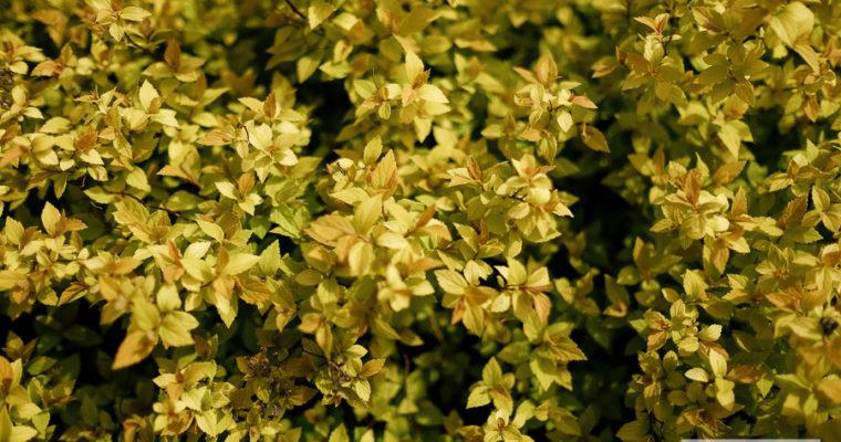 Tawuła japońska 'Golden princess' (Spiraea japonica)