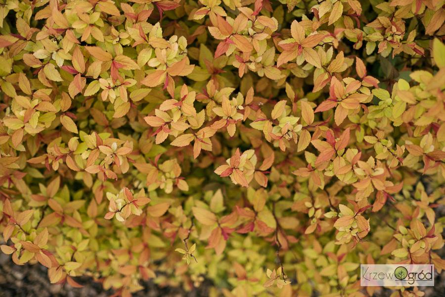 Tawuła japońska 'Goldflame' (Spiraea japonica)