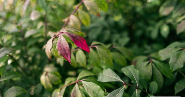 Tawuła oskrzydlona (Euonymus alatus)
