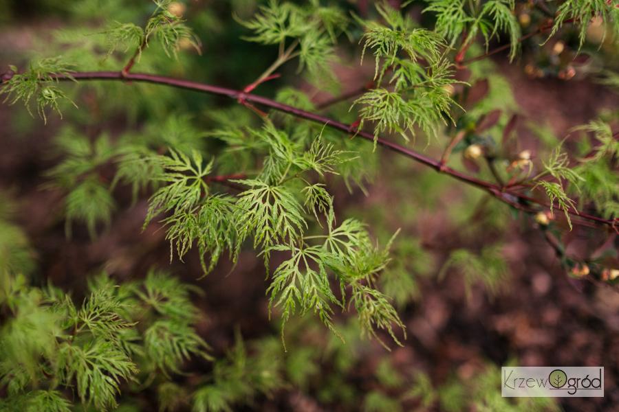 """Klon palmowy """"Emerald Lace' (Acer palmatum) [niedostępny]"""