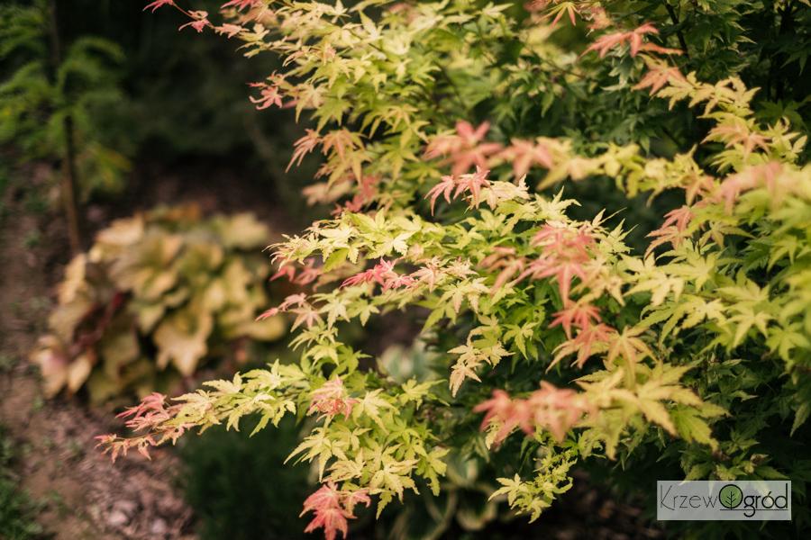 Klon palmowy 'Little princess' (Acer palmatum) [niedostępny]