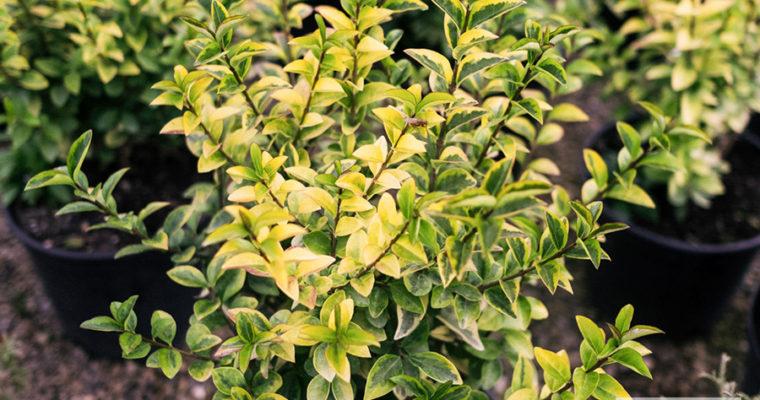 Ligustr jajolistny 'Aureum' (Ligustrum ovalifolium)