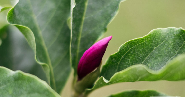 Magnolia 'Susan' [niedostępna]