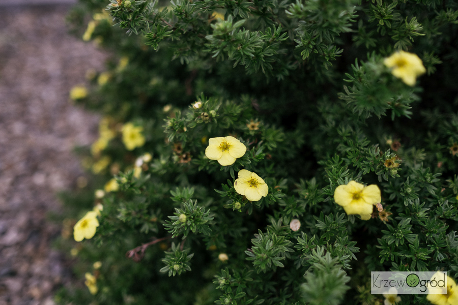 Pięciornik krzewiasty 'Kobold' (Potentilla fruticosa)