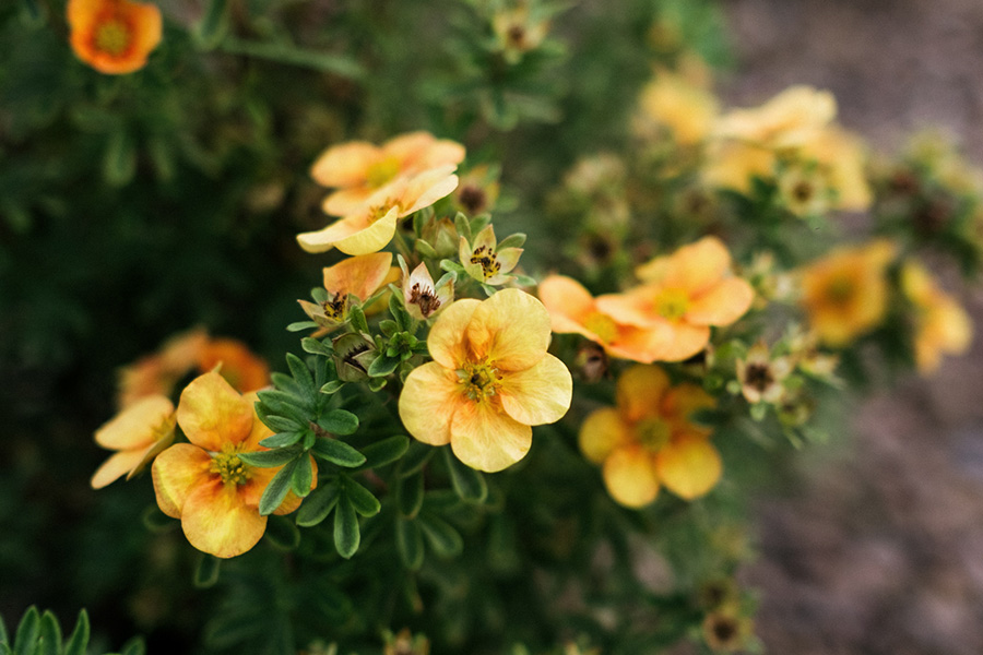 Pięciornik krzewiasty 'Mango Tango' (Potentilla fruticosa)