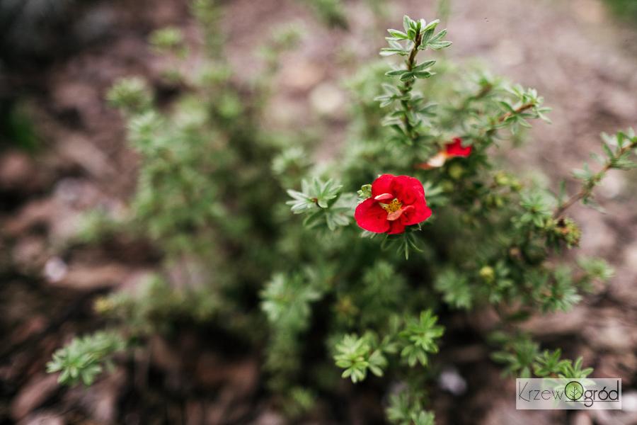Pięciornik krzewiasty 'Red Lady' (Potentilla fruticosa)