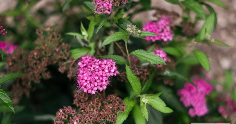 Tawuła japońska 'Anthony Waterer' (Spiraea japonica)