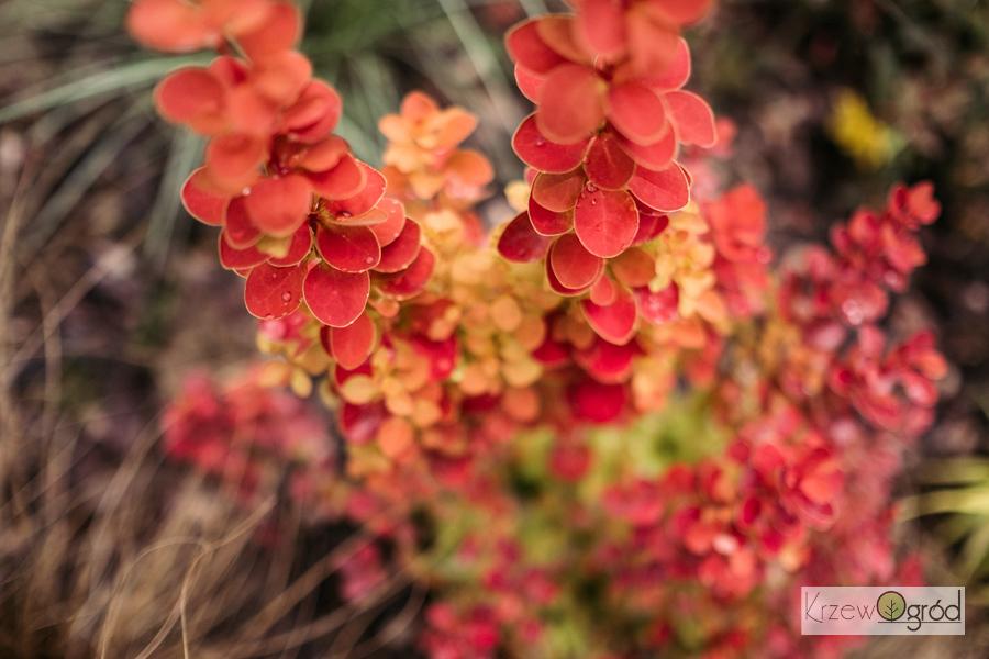 Berberys Thunberga 'Orange Ice' (Berberis thunbergii) [niedostępny]