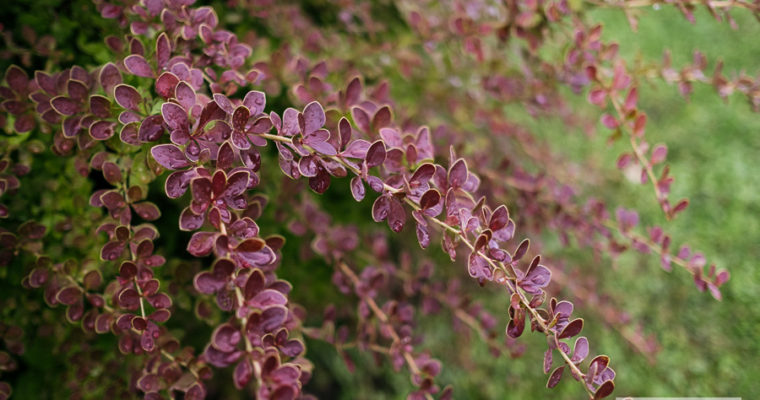 Berberys Thunberga 'Red Carpet' (Berberis thunbergii)