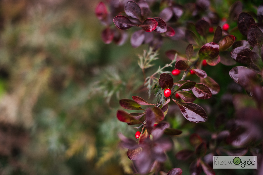 Berberys Thunberga 'Red Rocket' (Berberis thunbergii)