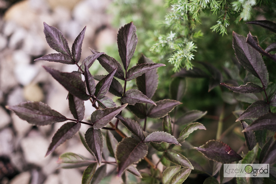 Bez czarny BLACK BEAUTY 'Gerda' (Sambucus nigra)