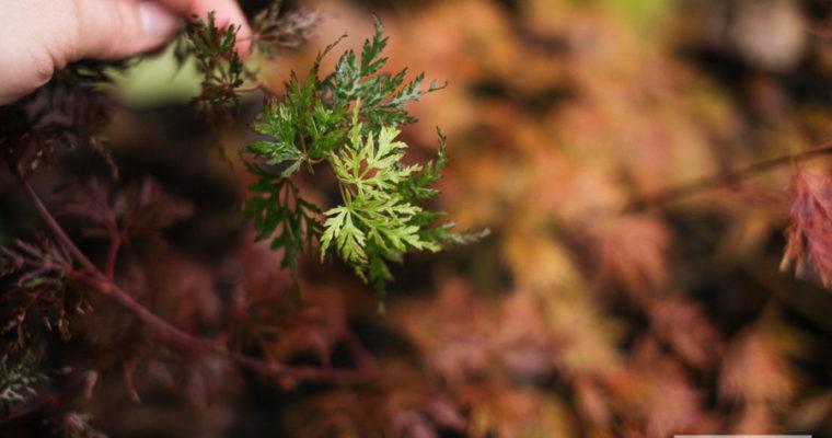 "Klon palmowy ""Emerald Lace' (Acer palmatum)"