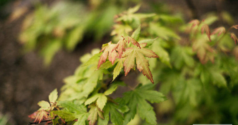 Klon palmowy 'Little princess' (Acer palmatum)