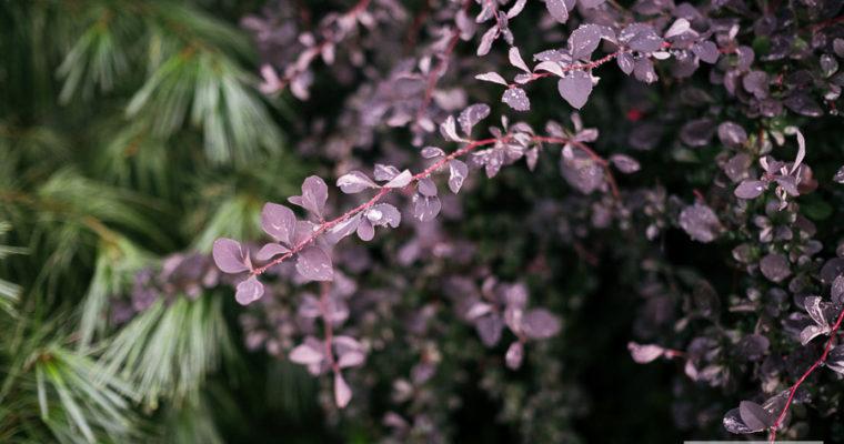 Berberys Ottawski 'Silver Miles' (Berberis ottawensis)