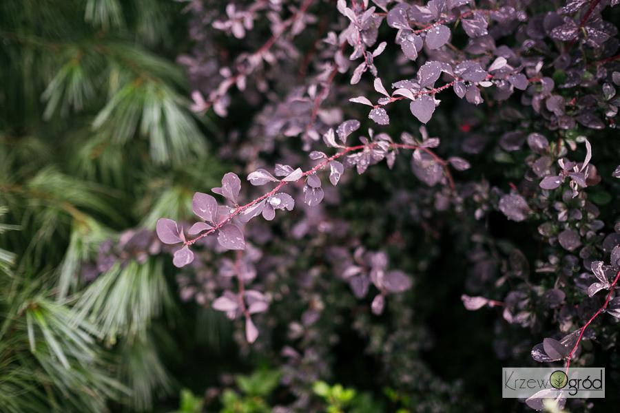 Berberys Ottawski 'Silver Miles' (Berberis ottawensis) [niedostępny]