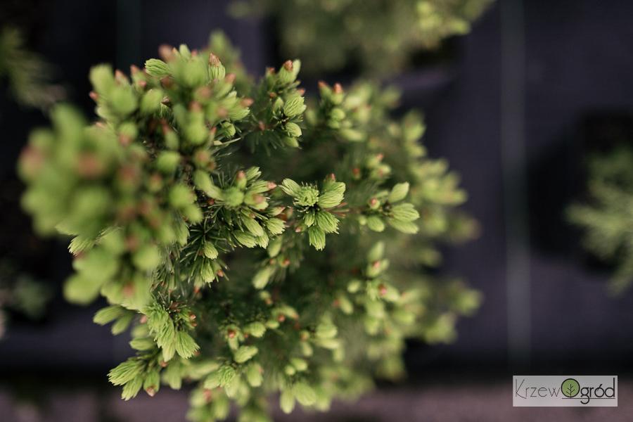 Świerk biały 'Conica' (Picea glauca)