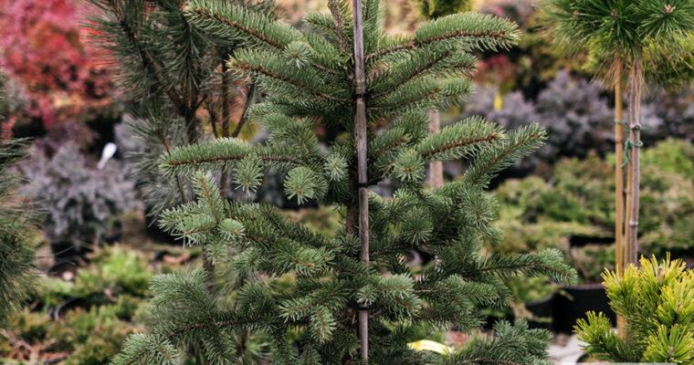 Świerk kłujący 'Maigold' (Picea pungens)
