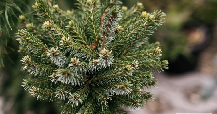 Świerk serbski 'Pevé Tijn' (Picea omorica)