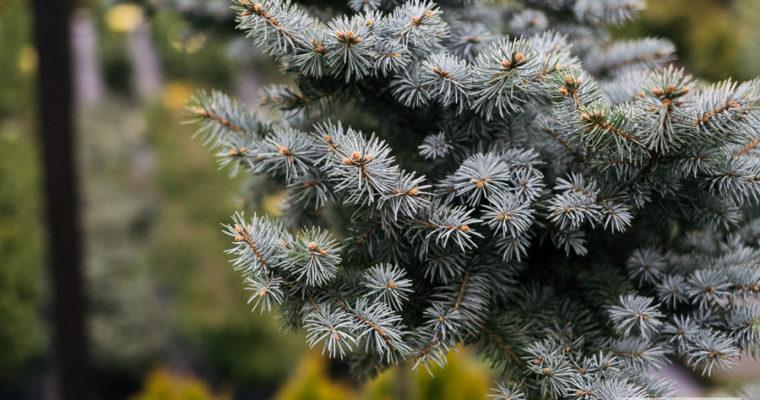 Świerk kłujący 'Glauca Globosa' (Picea pungens)