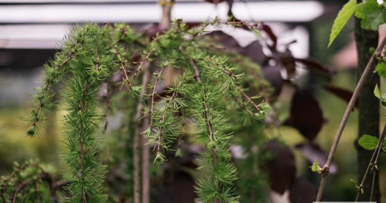 Modrzew europejski 'Pendula' (Larix decidua)