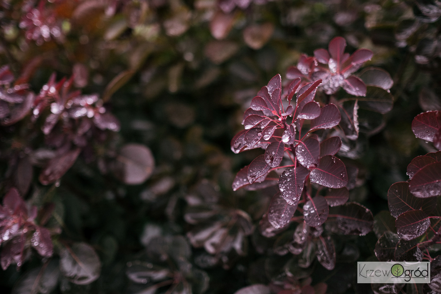 Perukowiec podolski 'Royal Purple' (Cotinus coggygria)