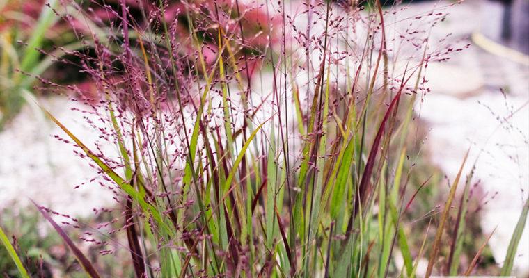 Proso rózgowate 'Haevy Metal' (Panicum virgatum)