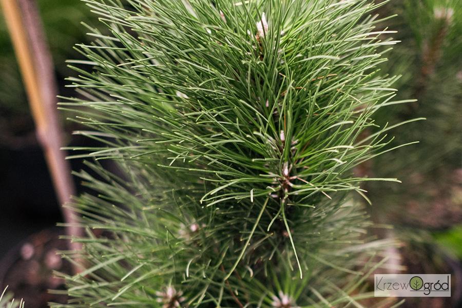 Sosna czarna 'Green Tower' (Pinus nigra)