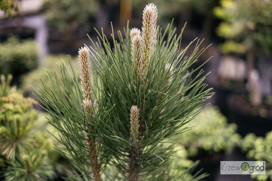 Sosna czarna 'Pyramidalis' (Pinus nigra)