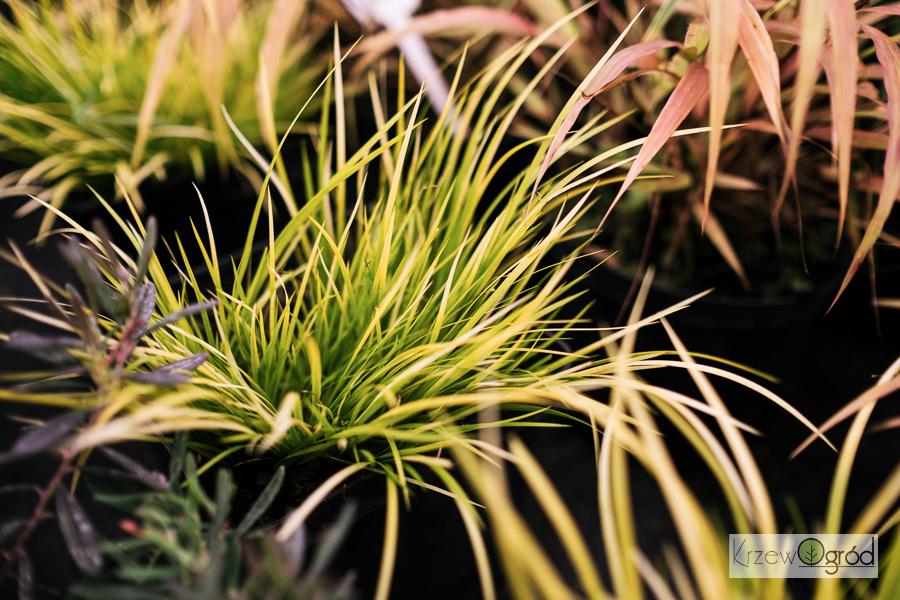Tatarak trawiasty (Acorus gramineus)