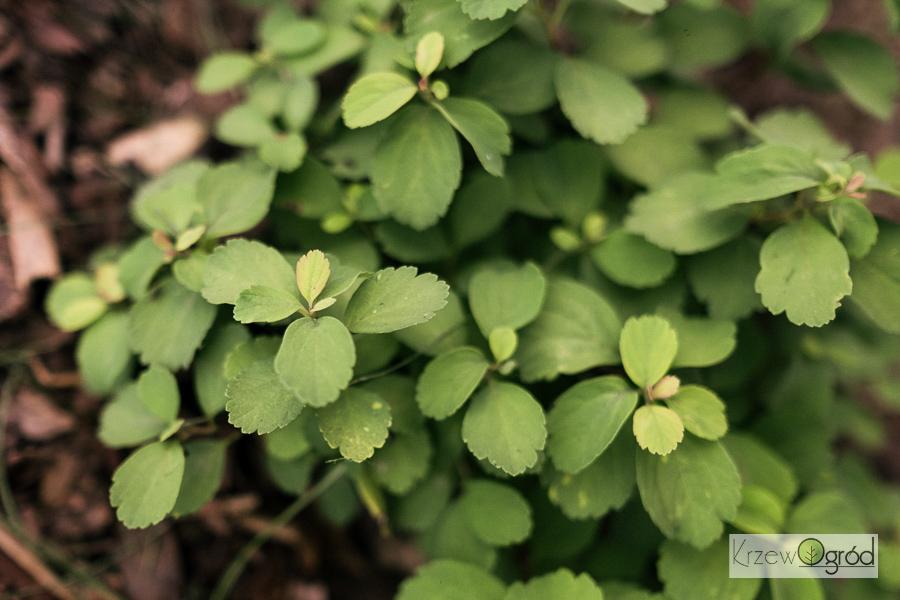 Tawuła brzozolistna 'Tor Gold' (Spiraea betulifolia)