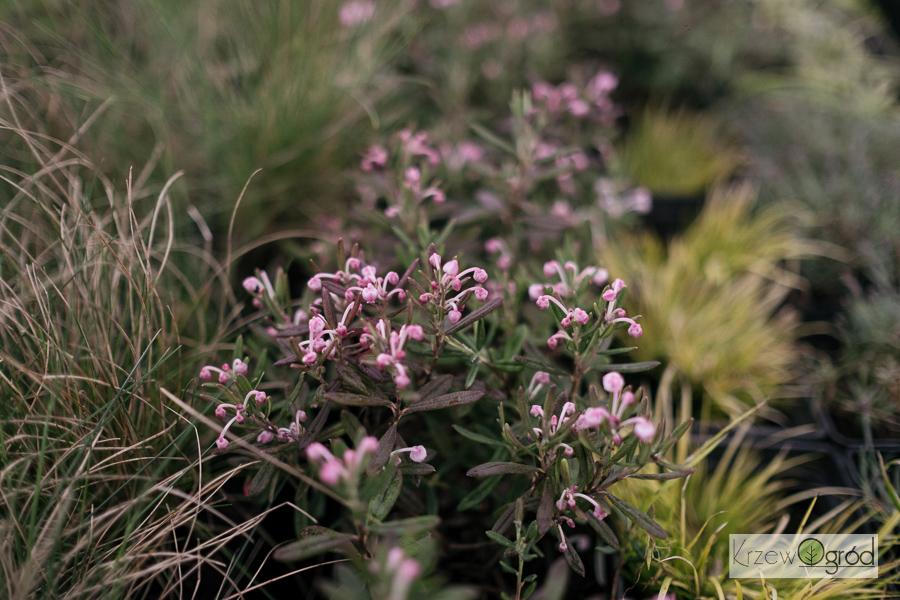 Modrzewnica pospolita 'Compacta' (Andromeda polifolia)