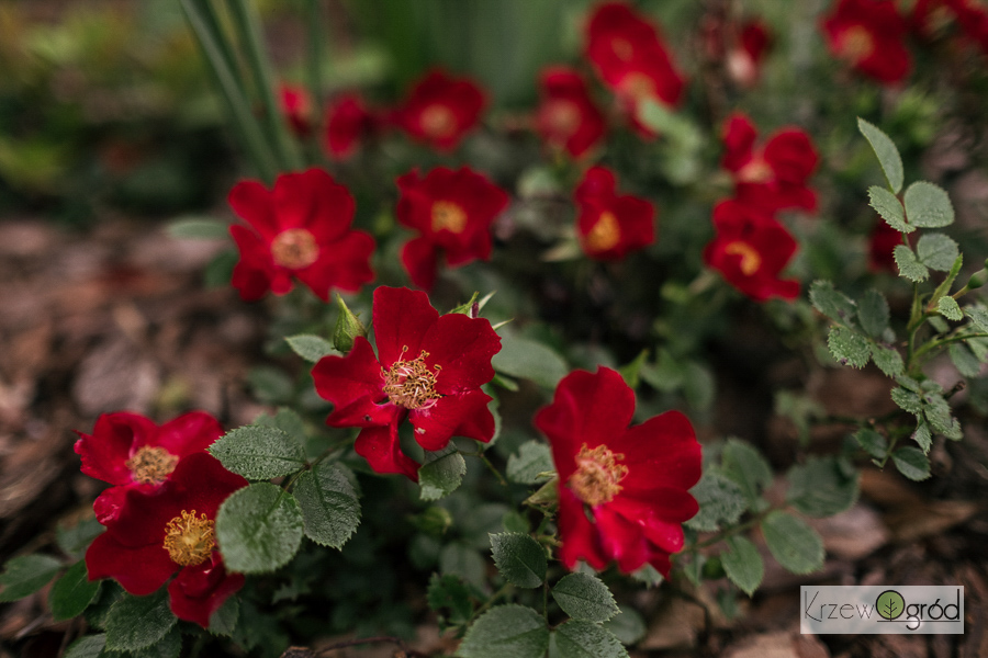 Róża okrywowa 'Bienenweide Rot'