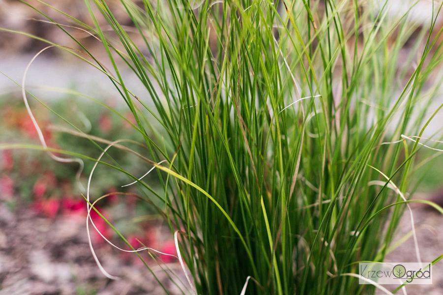Turzyca horwardii 'Phoenix Green' (Carex howardii)