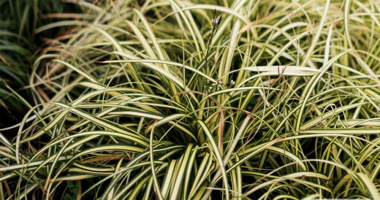 Turzyca oszimska 'Evergold' (Carex oshimensis)