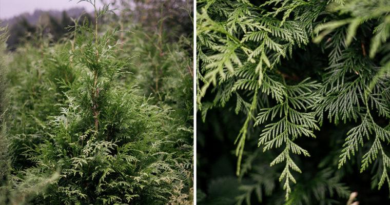 Żywotnik zachodni 'Zebrina' (Thuja occidentalis)