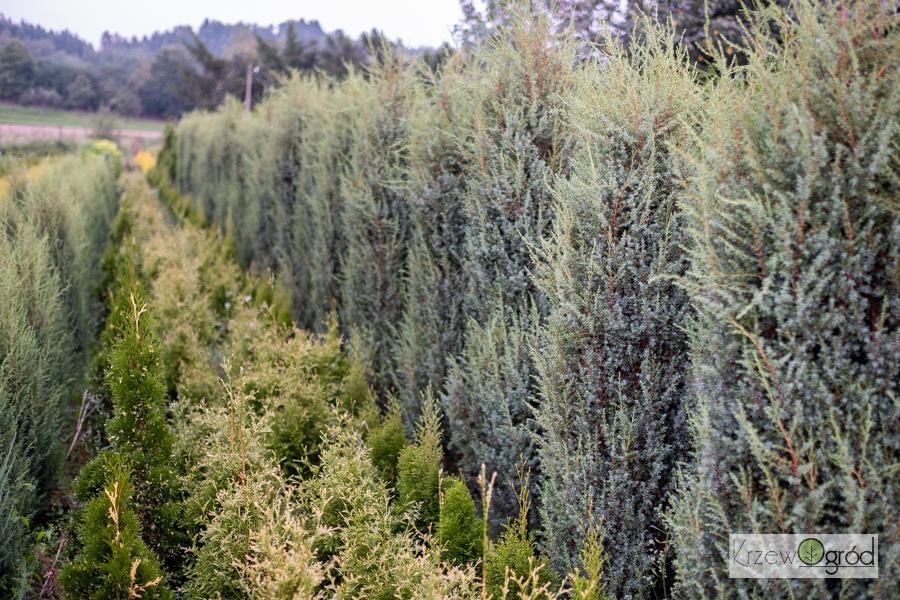 Jałowiec pospolity 'Suecica Nana' (Juniperus communis)